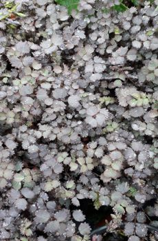 Acaena inermis 'Purpurea' - New Zealand Burr