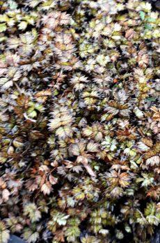 Acaena microphylla - New Zealans Burr