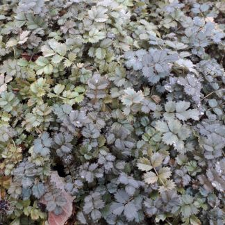 Acaena 'Kupferteppich' (syn.'Copper Carpet') - New Zealand Burr