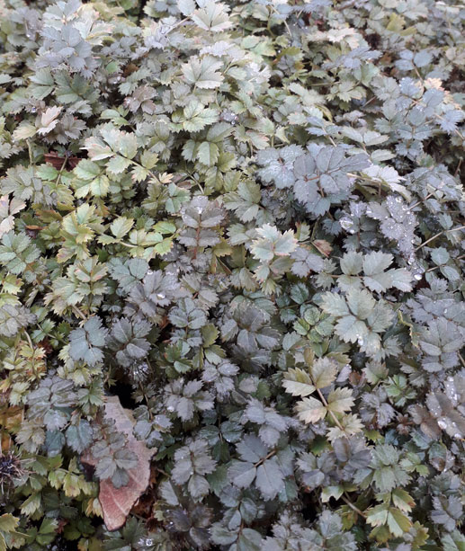 Acaena 'Kupferteppich' (syn.'Copper Carpet') - New Zealand Burr