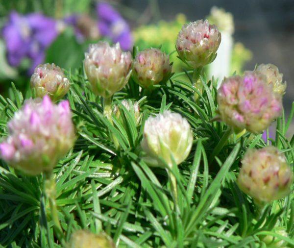 Armeria juniperifolia (Armeria caespitosa)