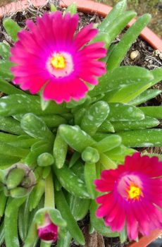 Delosperma Jewel of the Desert 'Garnet'