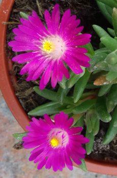 Delosperma Jewel of the Desert 'Opal'
