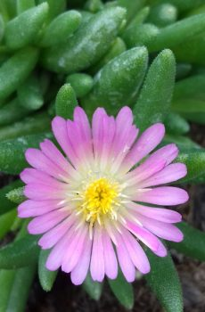 Delosperma Jewel of the Desert 'Rosequartz'