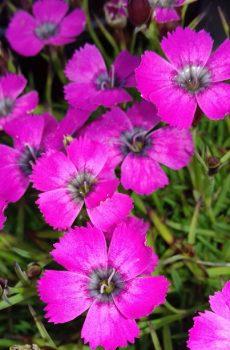 Dianthus 'Inschriach Dazzler'