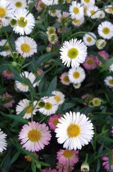 Erigeron karvinskianus (Crazy Daisy)