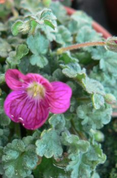 Erodium x variabile 'Candy'