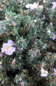 Frankenia thymifolia