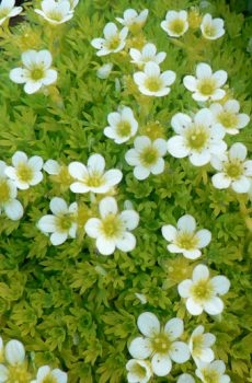 Saxifraga moschata 'Cloth of Gold'