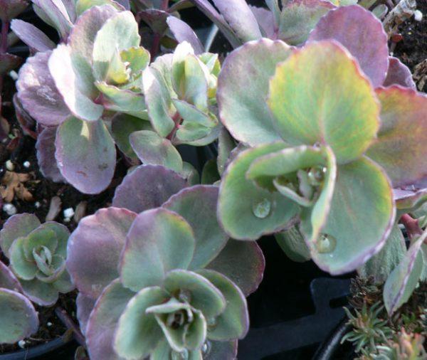 Hylotelephium ewersii (Sedum)