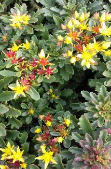 Phedimus kamtschaticum.var.floriferum 'Weihenstephaner Gold'