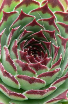 Sempervivum calcareum 'Sir William Lawrence'