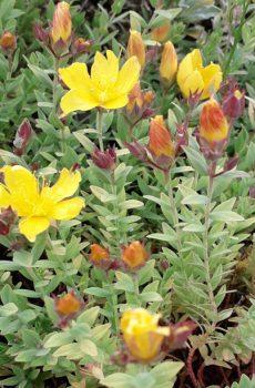 Hypericum olympicum f. uniflorum