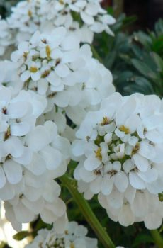 Iberis sempervirens 'Snowflake' - Candytuft