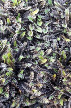 Leptinella squalida 'Platts Black'