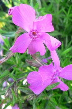 Phlox subulata 'McDaniels Cushion'