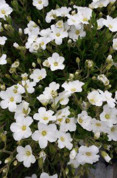 Arenaria montana - Mountain Sandwort