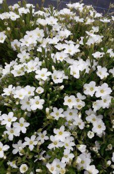 Arenaria montana 'Snow White'
