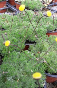 Cotula hispida