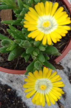 Delosperma 'Jewel of Desert Peridott'