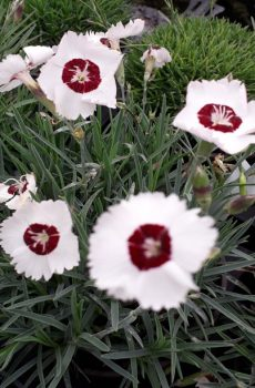 Dianthus 'Dainty Dame'