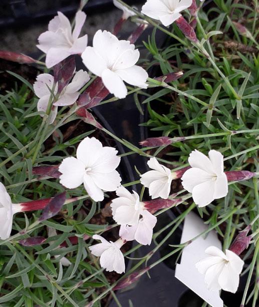 Dianthus 'Nyewood Cream'