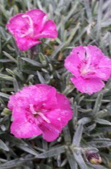 Dianthus 'Whatfield Joy'