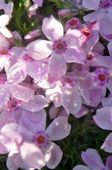 Phlox douglasii 'Rose Cushion'