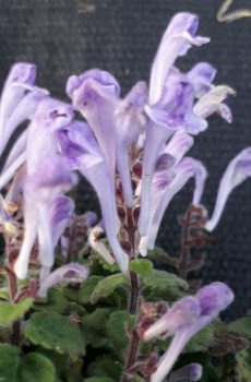 Scutellaria indica var. parvifolia