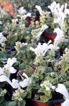 Scutellaria indica var. parvifolia 'Alba'
