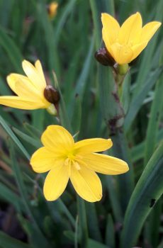 Sisyrinchium californicum Brachypus Group