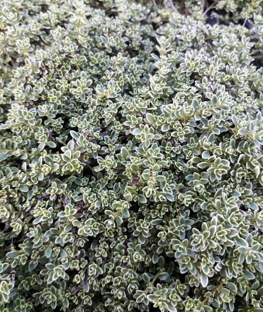 Thymus 'Hartington Silver'