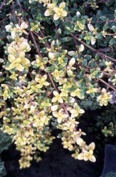 Thymus serpyllum 'Goldstream'