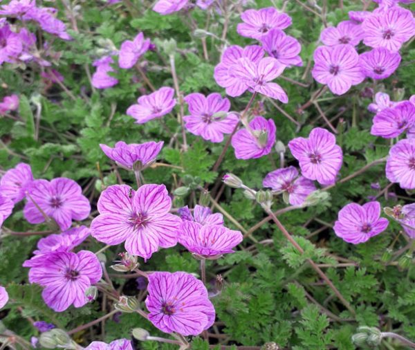 Erodium (glandulosum) 'Maryla'