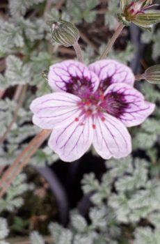Erodium 'Purple Haze'