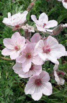 Erodium chrysanthum 'Pink Form'