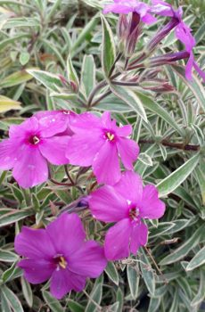 Phlox x procumbens 'Variegata'